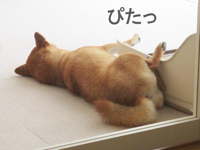 柴犬コマリ トイレ