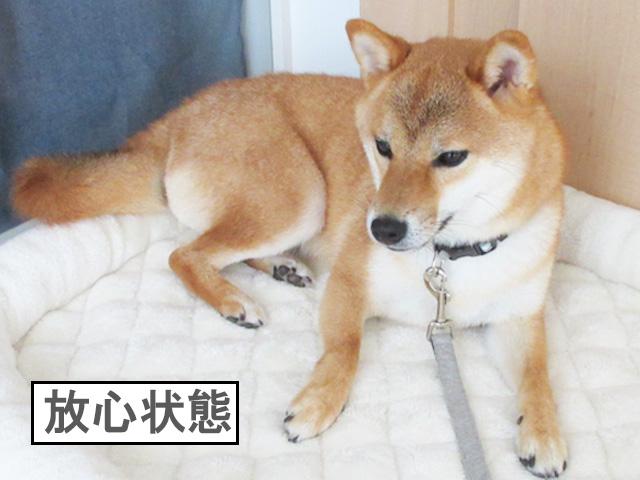 柴犬コマリ 首輪嫌い