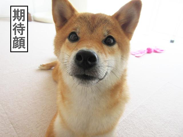 柴犬コマリ 表情
