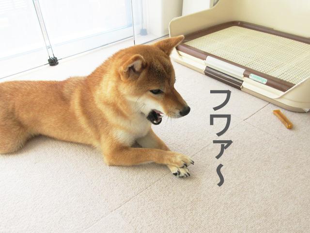 柴犬コマリ あくび