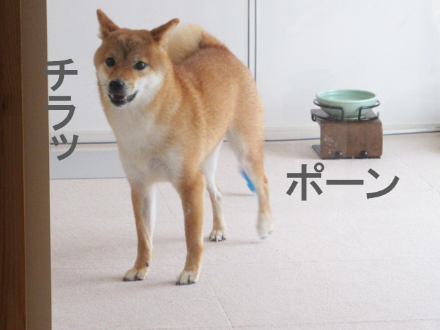 柴犬コマリ ボール遊び