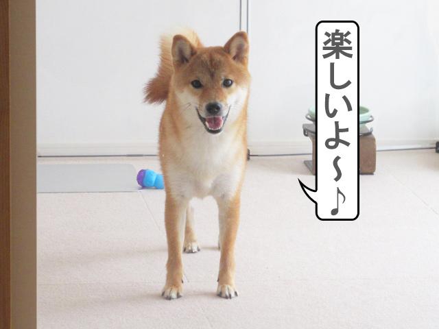 柴犬コマリ アピール