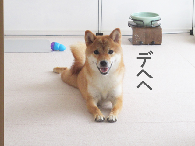 柴犬コマリ 笑顔