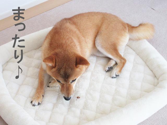 柴犬コマリ おやつの食べ方
