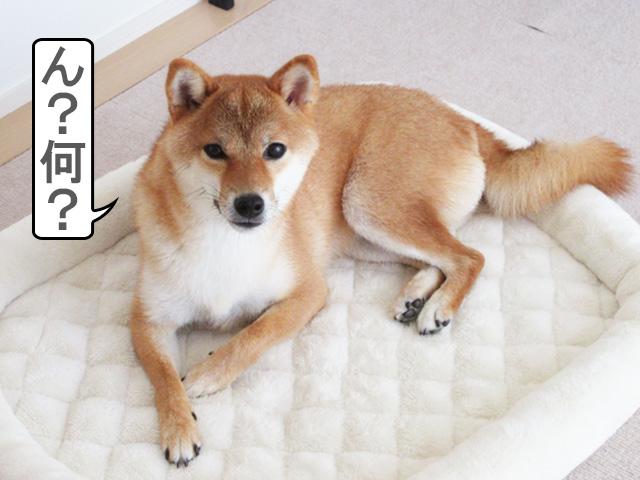 柴犬コマリ クッキー
