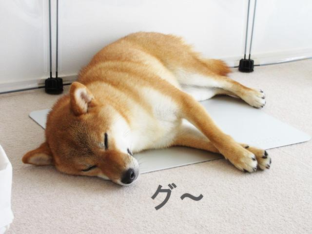柴犬コマリ クールアルミプレート