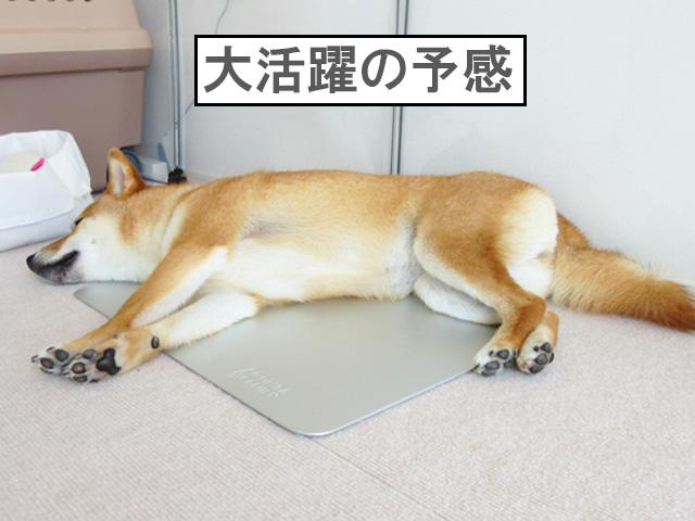 柴犬コマリ アルミプレート
