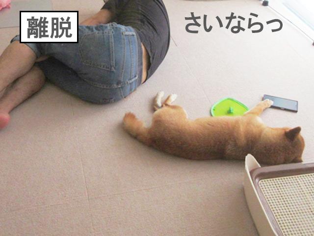 柴犬コマリ 夏バテ