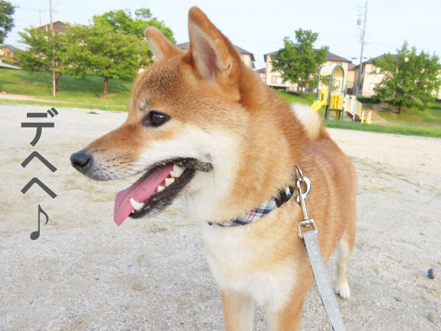柴犬コマリ 夏の散歩