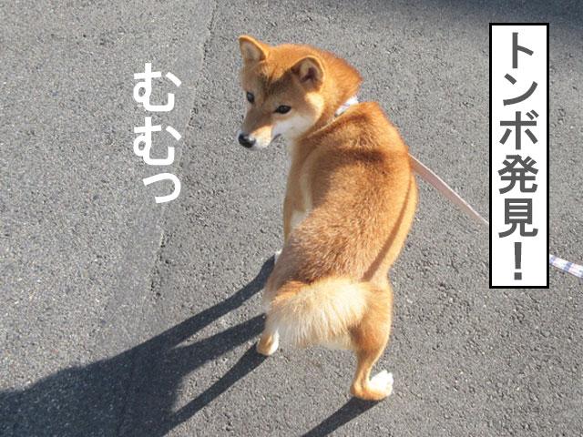 柴犬コマリ トンボ