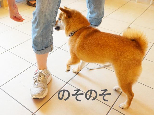 柴犬コマリ ウィーブ
