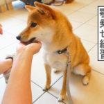 柴犬コマリ ハズバンダリートレーニング