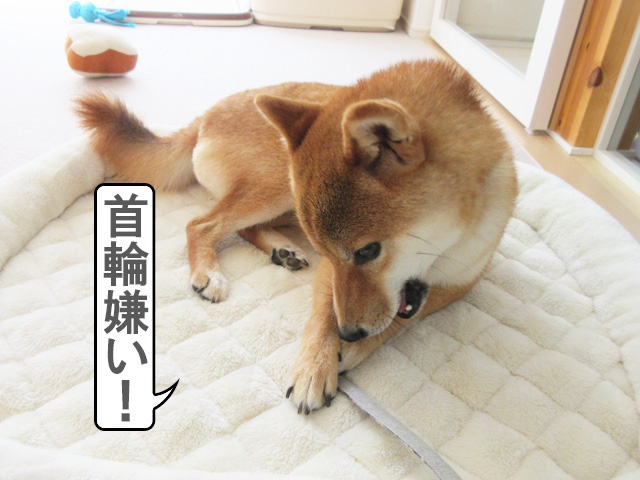 柴犬コマリ 首輪