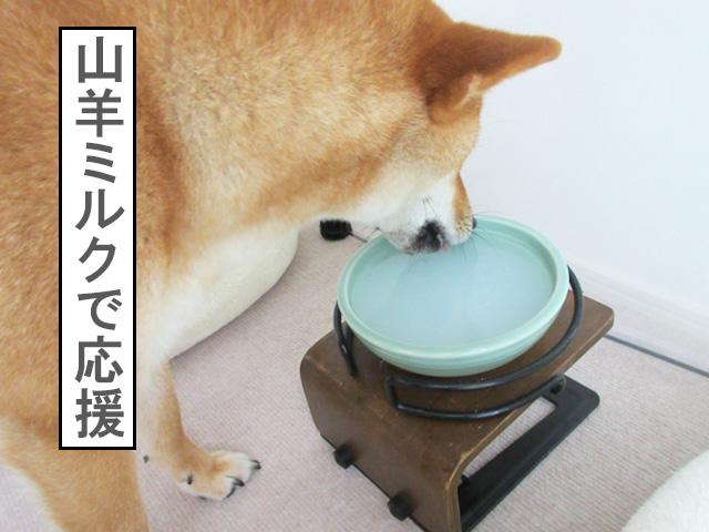 柴犬コマリ 山羊ミルク