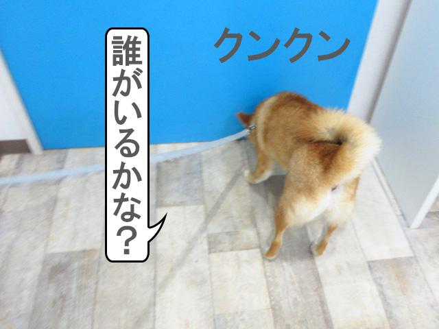 柴犬コマリ 犬の幼稚園