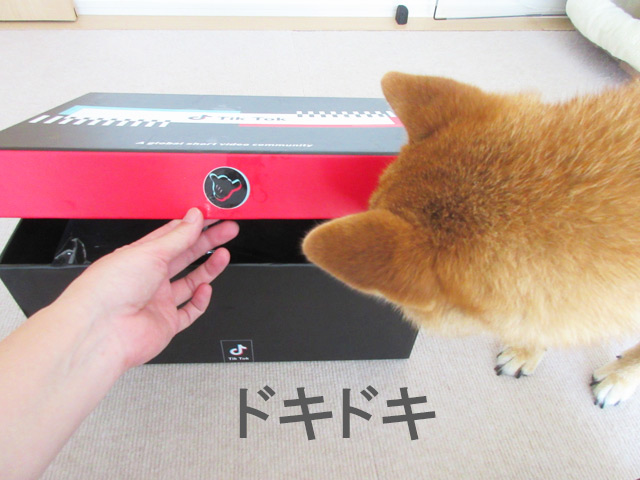 柴犬コマリ TikTok