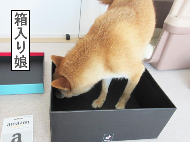 柴犬コマリ ティックトック賞品