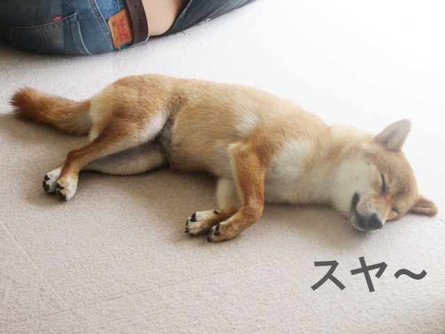 柴犬コマリ 夏休み
