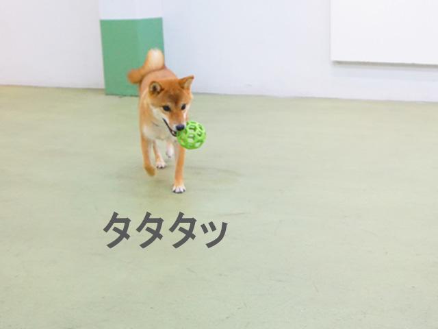 柴犬コマリ 室内ドッグラン