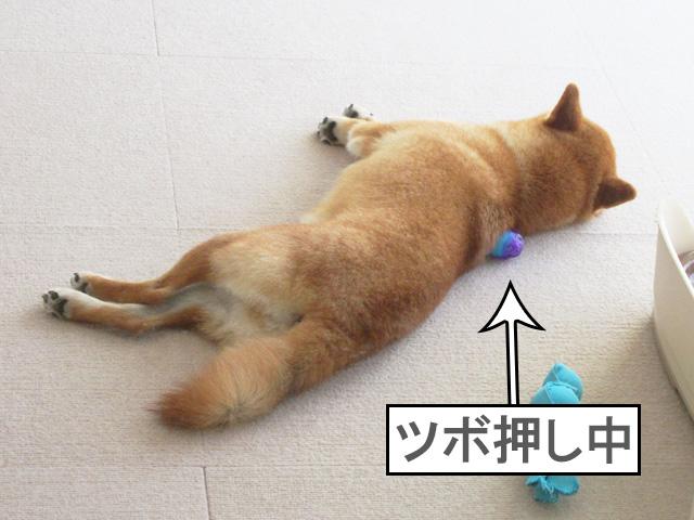 柴犬コマリ ツボ押し