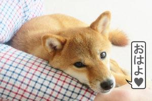 柴犬コマリ アイドル