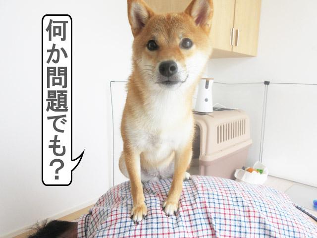 柴犬コマリ 女王