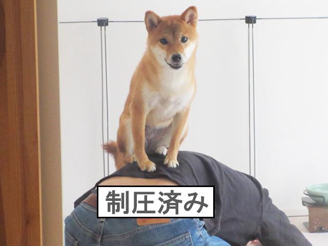 柴犬コマリ 制圧