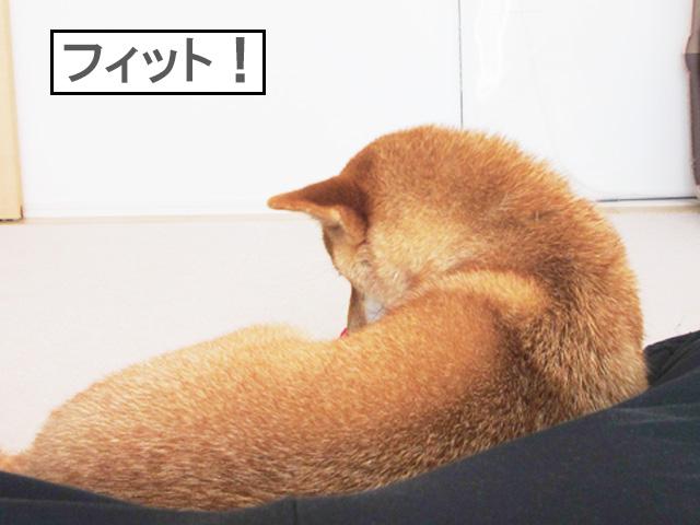 柴犬コマリ フィット