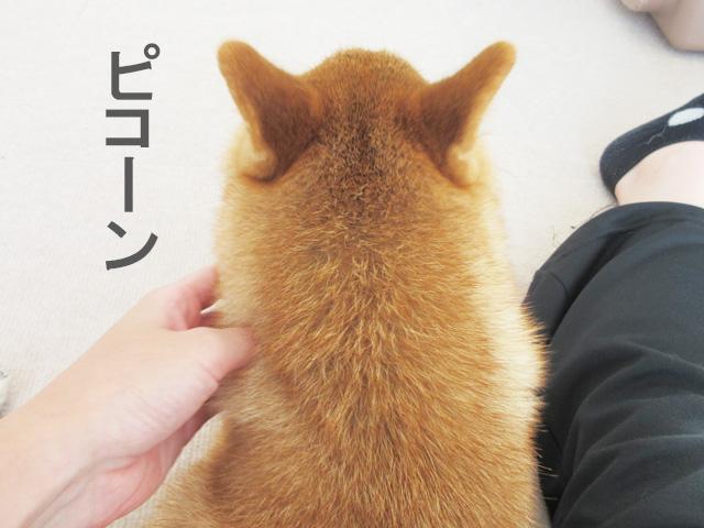 柴犬コマリ 耳