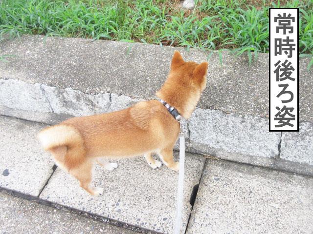 柴犬コマリ 散歩