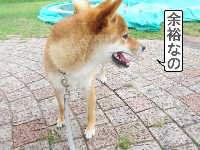 柴犬コマリ 台風