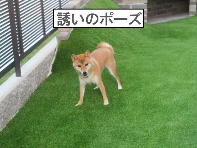 柴犬コマリ 庭 人工芝
