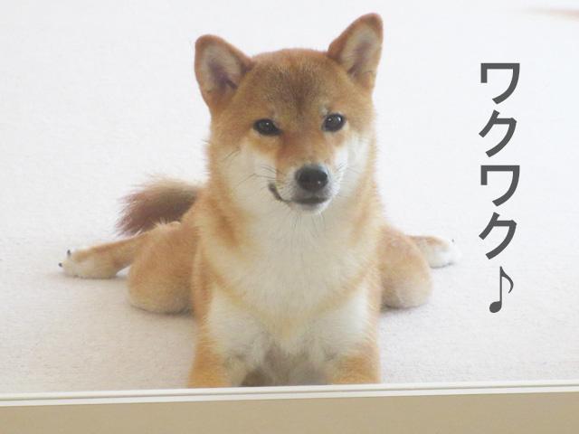 柴犬コマリ ヒマラヤチーズ