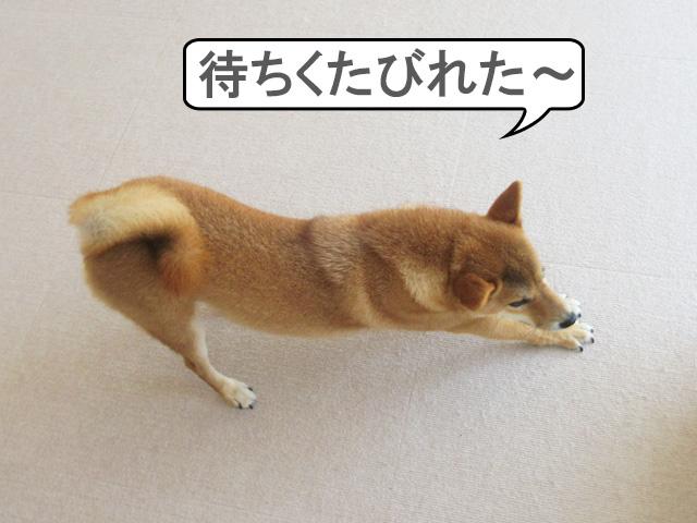 柴犬コマリ ヒマチー