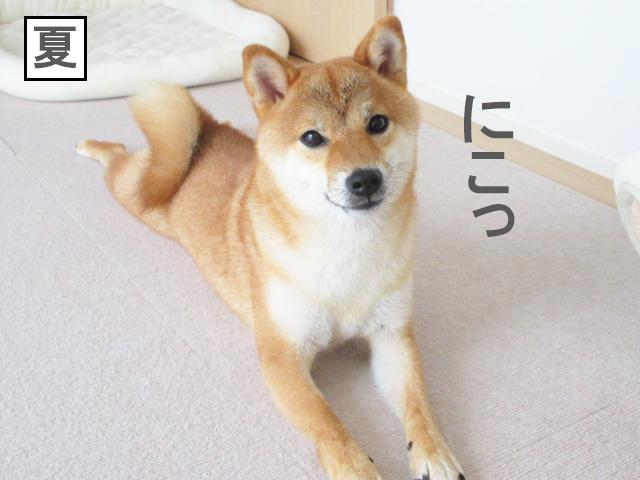 柴犬コマリ 夏毛