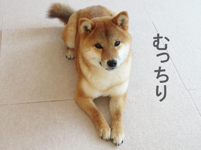 柴犬コマリ 冬毛