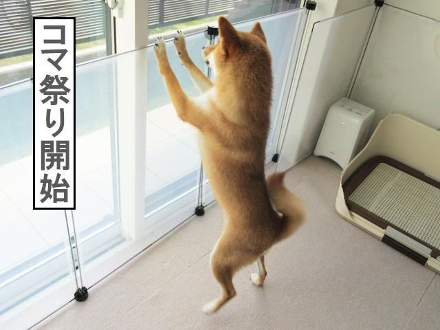 柴犬コマリ 歓迎の舞