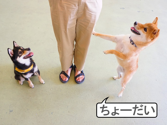 柴犬コマリ おやつ
