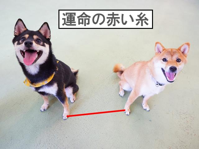 柴犬コマリ 赤い糸