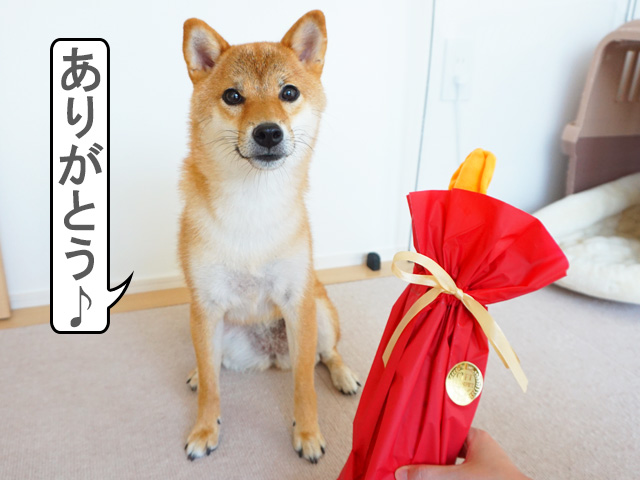 柴犬コマリ 柴友