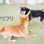 柴犬コマリ ワンプロ