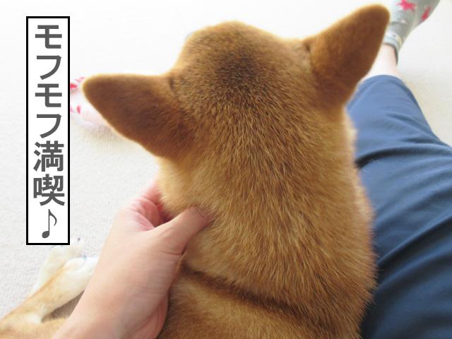 柴犬コマリ モフモフ