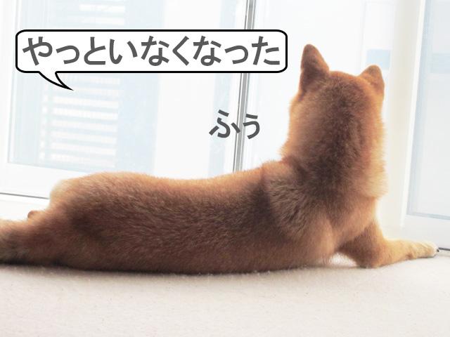 柴犬コマリ リアス式海岸