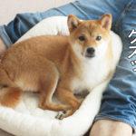 柴犬コマリ ベッド