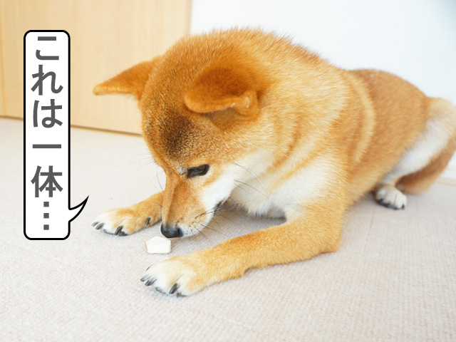 柴犬コマリ doggybox ドギーボックス