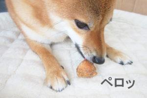 柴犬コマリ ヒマチー レンジ