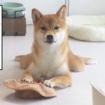 柴犬コマリ 帽子
