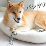 柴犬コマリ 眼鏡