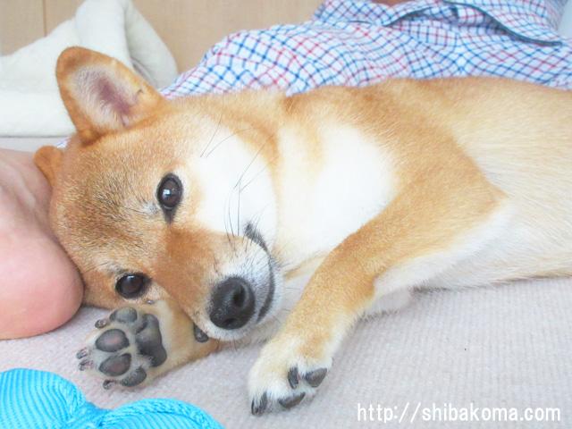 柴犬コマリ 天使