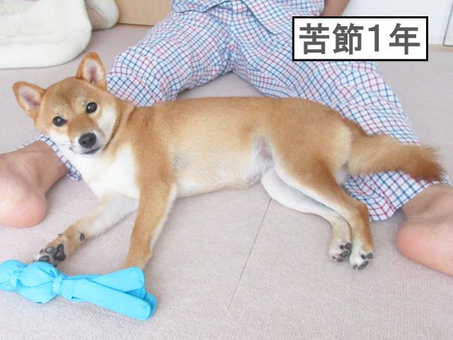 柴犬コマリ 家庭犬